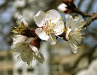 Frühling beginnt für Pflanzen immer früher