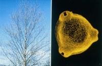 ZAMG rüstet sich für die Pollensaison
